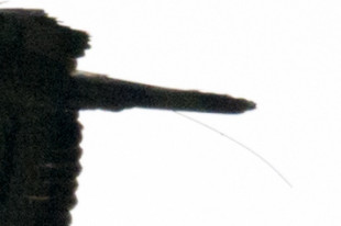 ハチクマ 発信器アンテナ